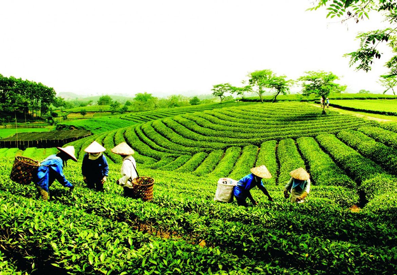 Xuất khẩu chè Việt Nam sang Anh tăng hơn 100% trong 9 tháng