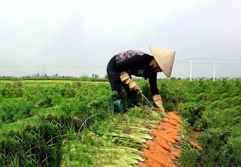 Hàn Quốc sẽ nhập khẩu cà rốt trở lại từ ngày 4/3/2021
