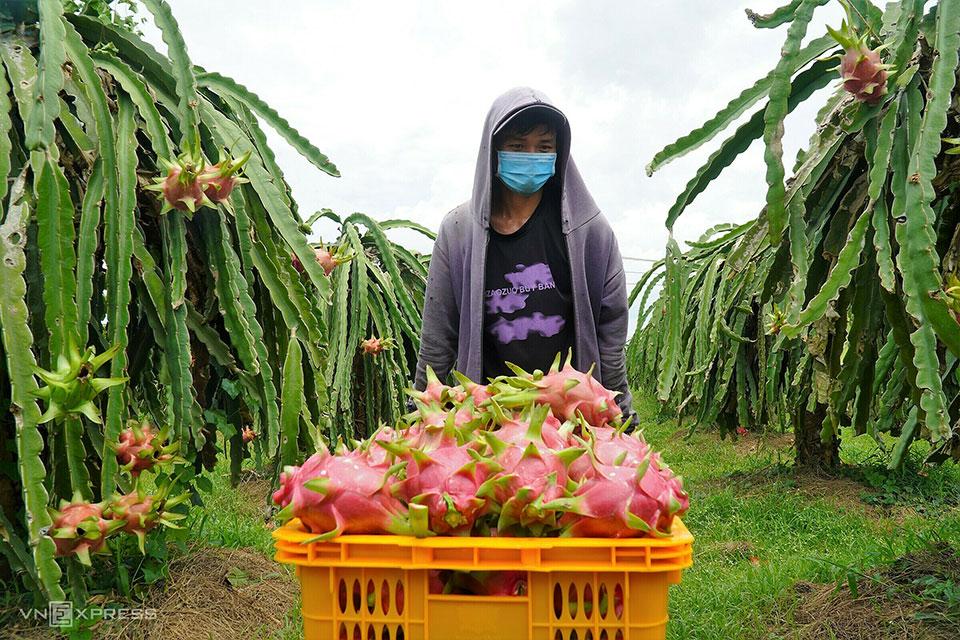 Nông dân thu hoạch thanh long ở khu Hải Vy, xã Mương Mán (Bình Thuận). Ảnh: Việt Quốc